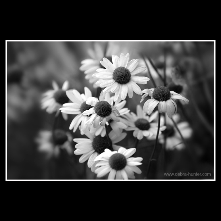 daisies - black and white flower photography - red deer, alberta