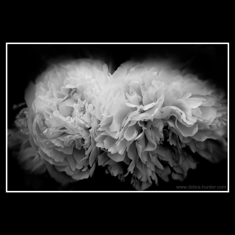 peonies - black and white photography - red deer, alberta