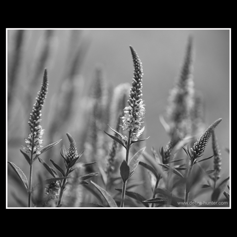 black and white flower photography - red deer, alberta